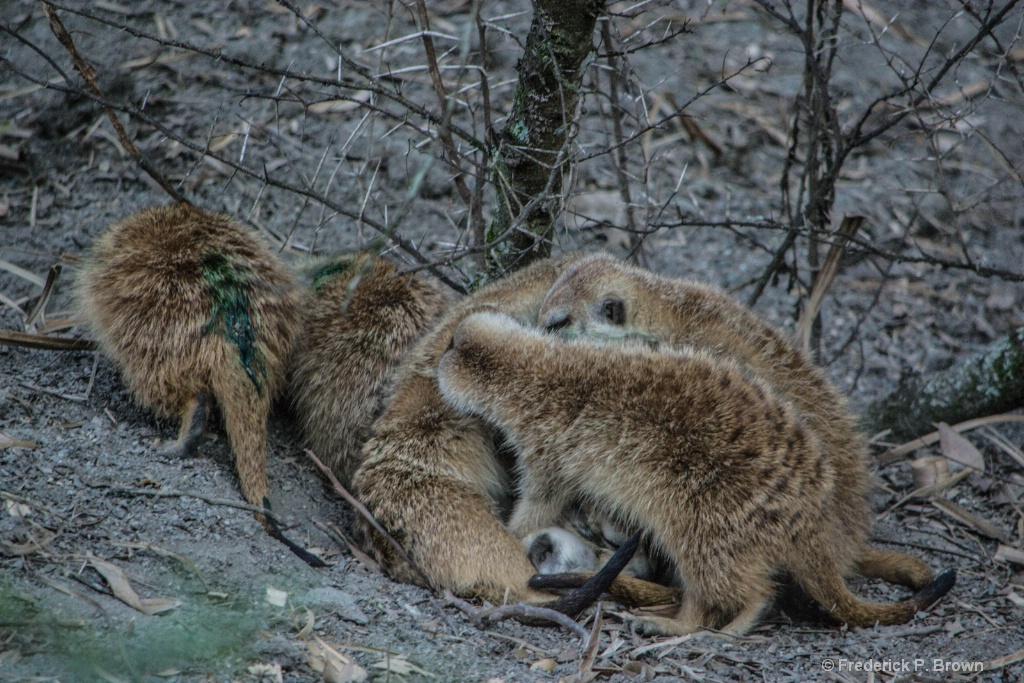 Bunch of Meercats
