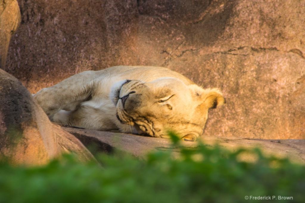 Sleeping Lion