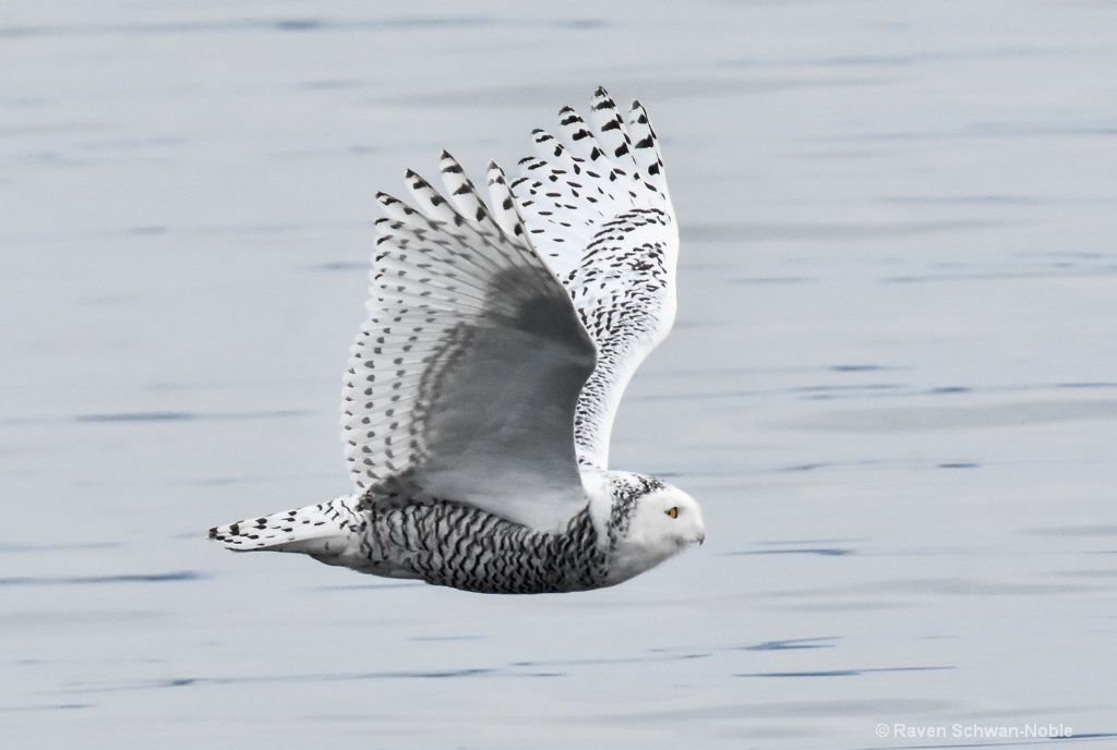 Grace of a Snowy Owl