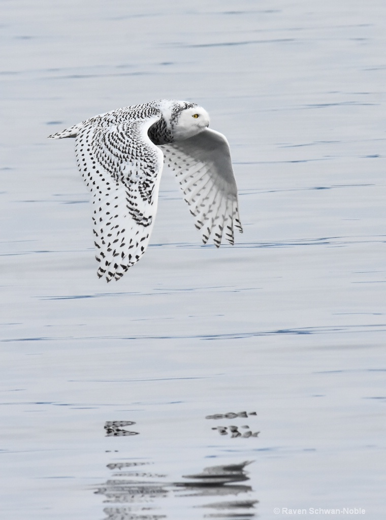 Reflections  Snowy Owl