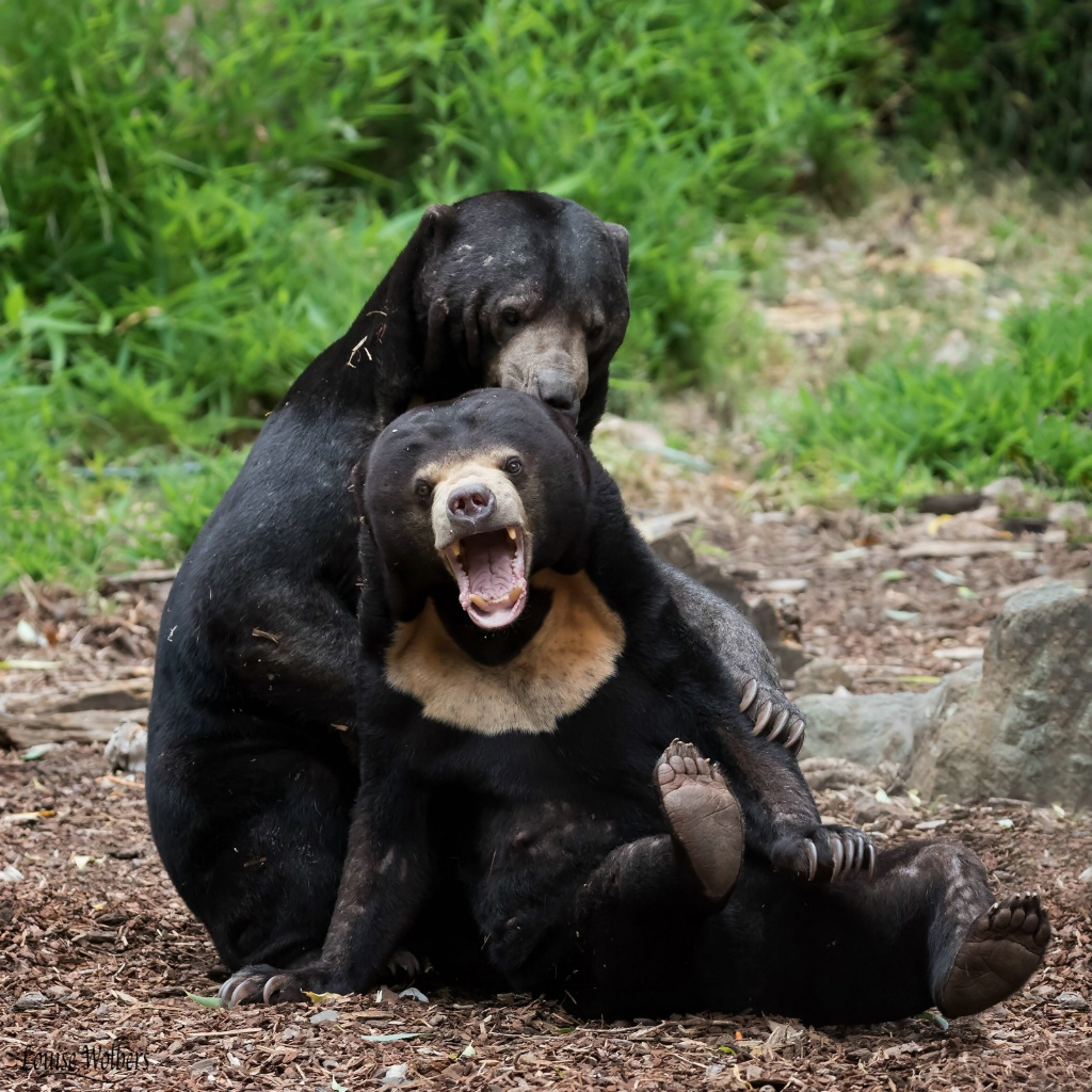 Sun Bear Wrestle