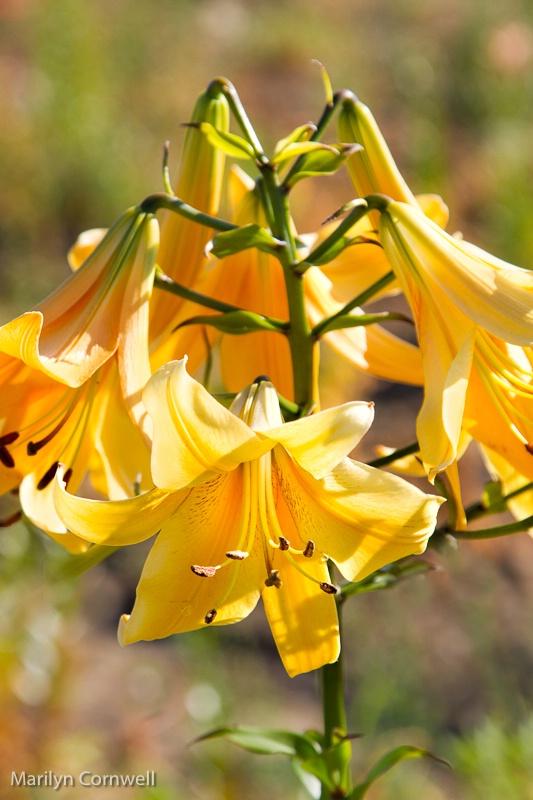 Lilycrest Gardens - A Golden Splendour