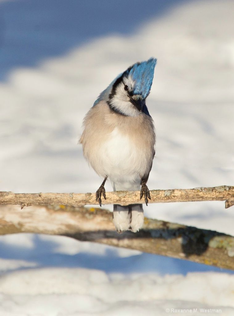 Blue Jay in afternoon snow
