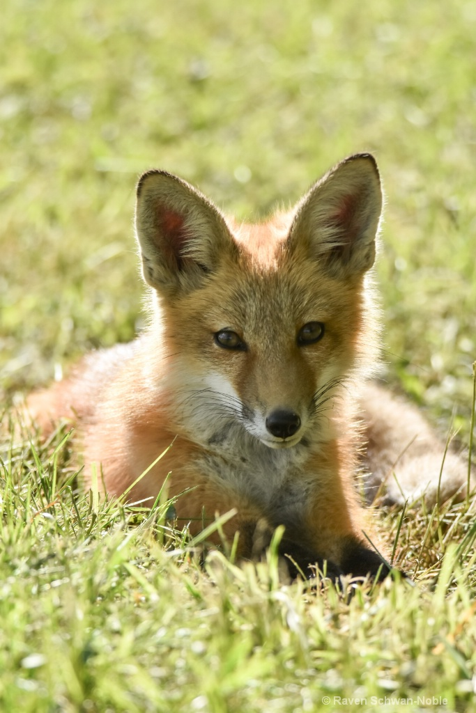Red Tail Fox kit
