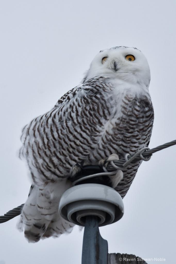 Snowy Owl Sentry
