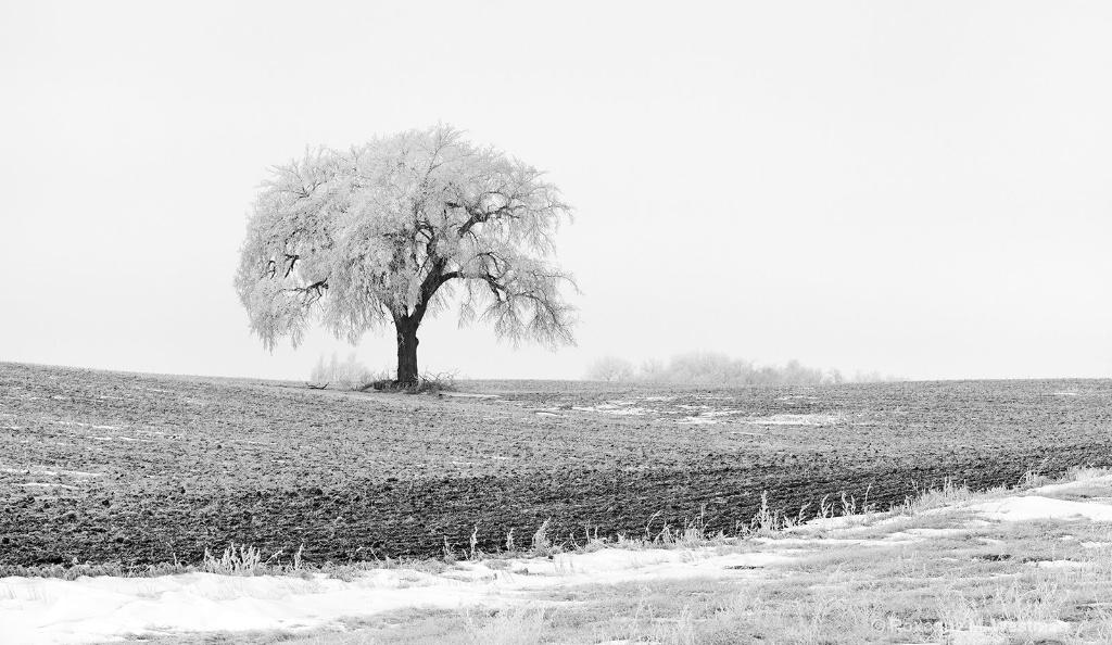 Hoarfrost one lone North Dakota elm