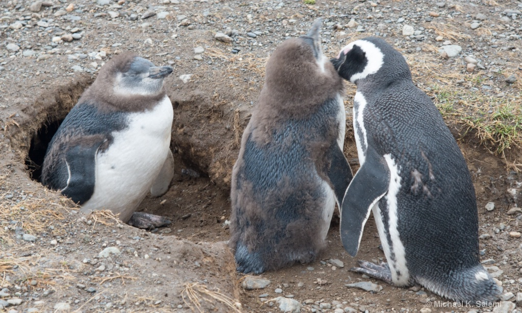 Megellanic Penguin Family