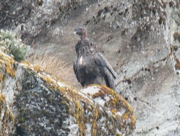 The Condor of Condor Glacier