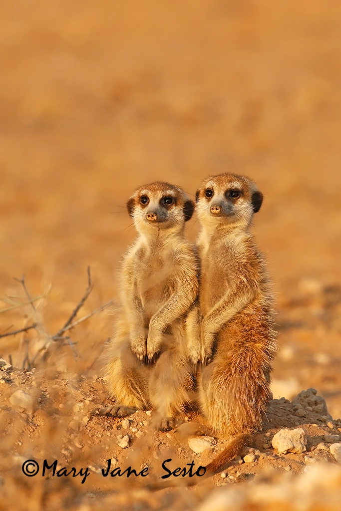 Meerkats, South Africa