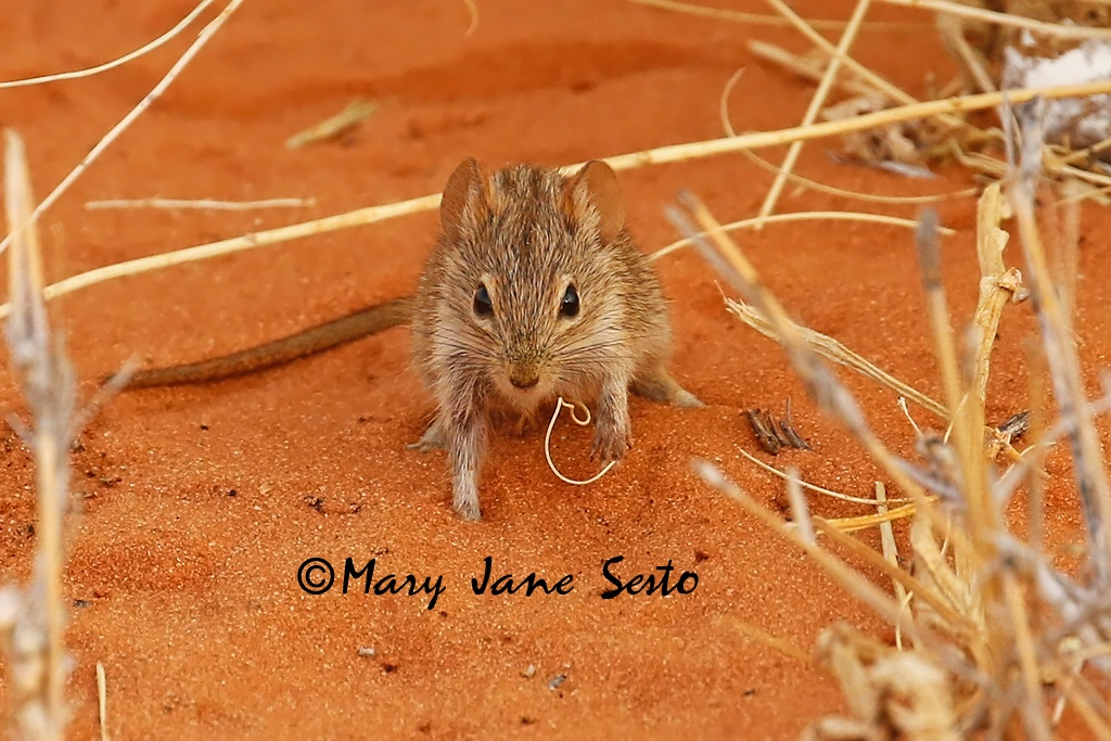 Striped Mouse, South Africa