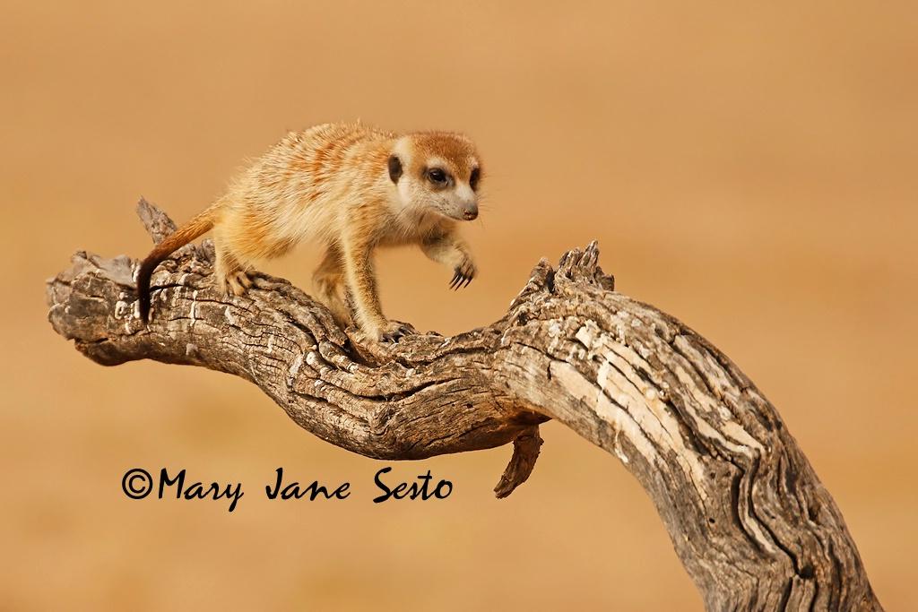 Meerkat, South Africa