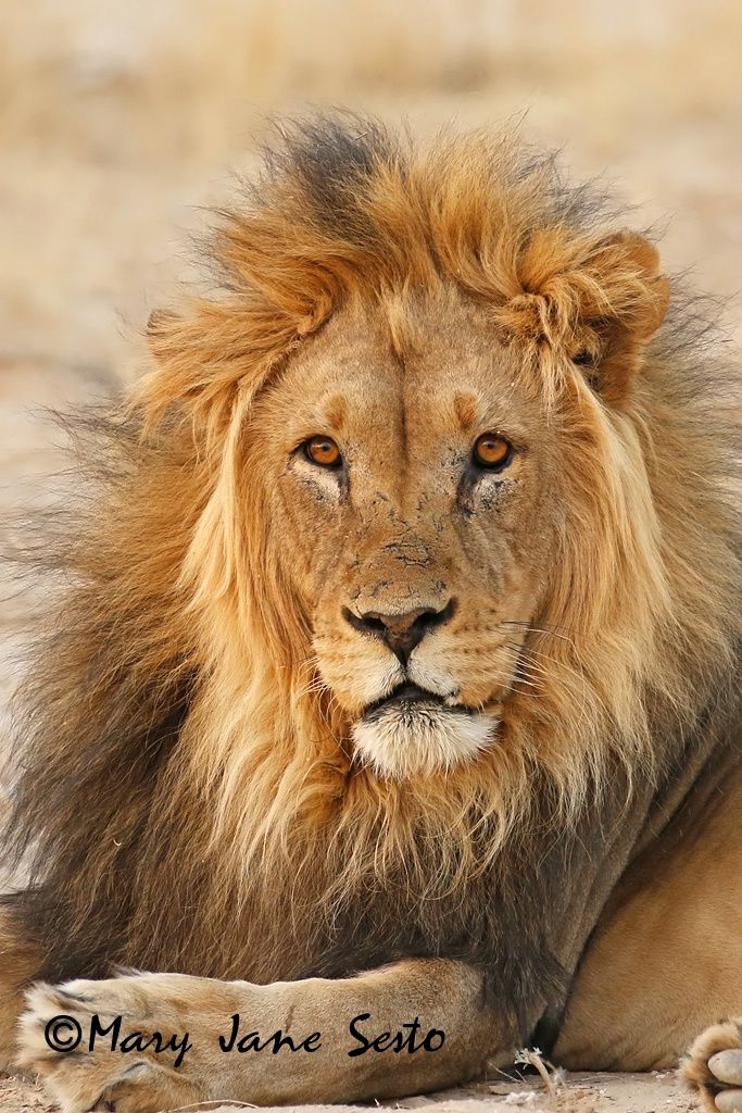 Lion Chilling, South Africa