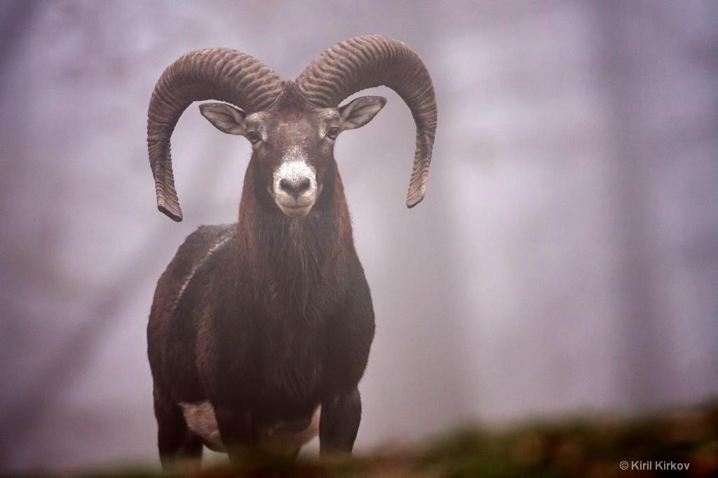 goat1small