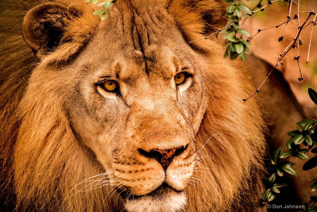 Look of a Lion 3-0 F LR 9-16-17 J544