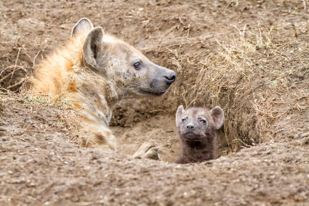 Hyena Den  9504