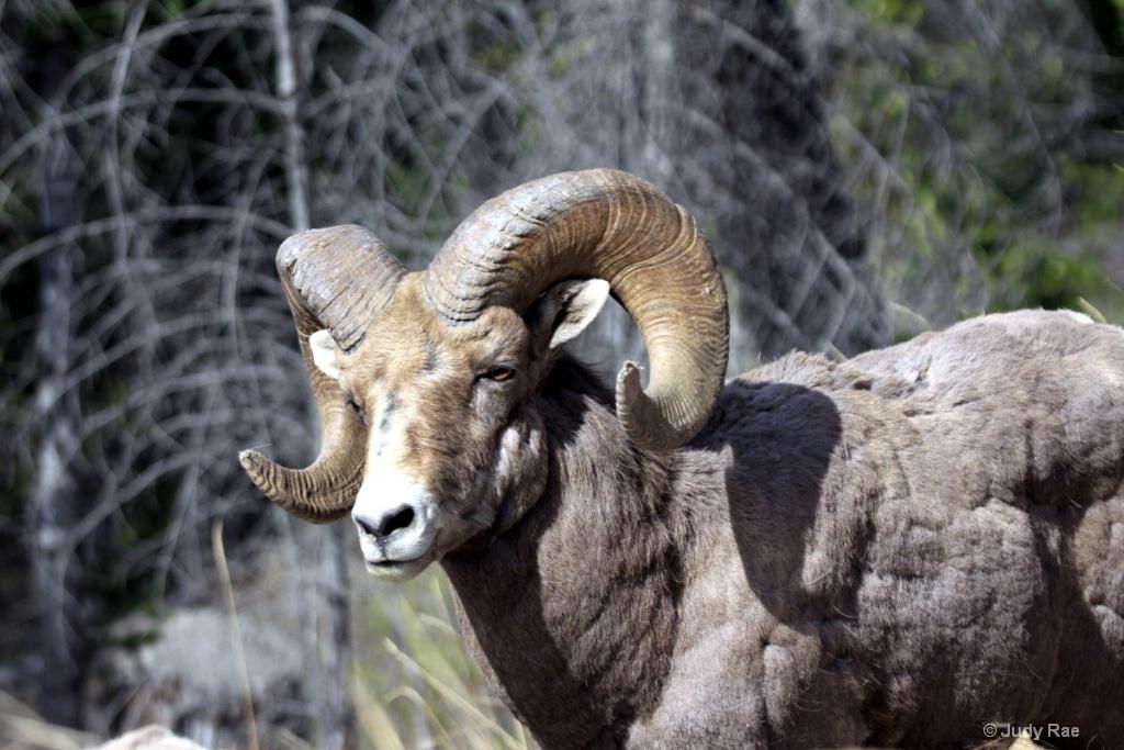 Big Horn Ram 2