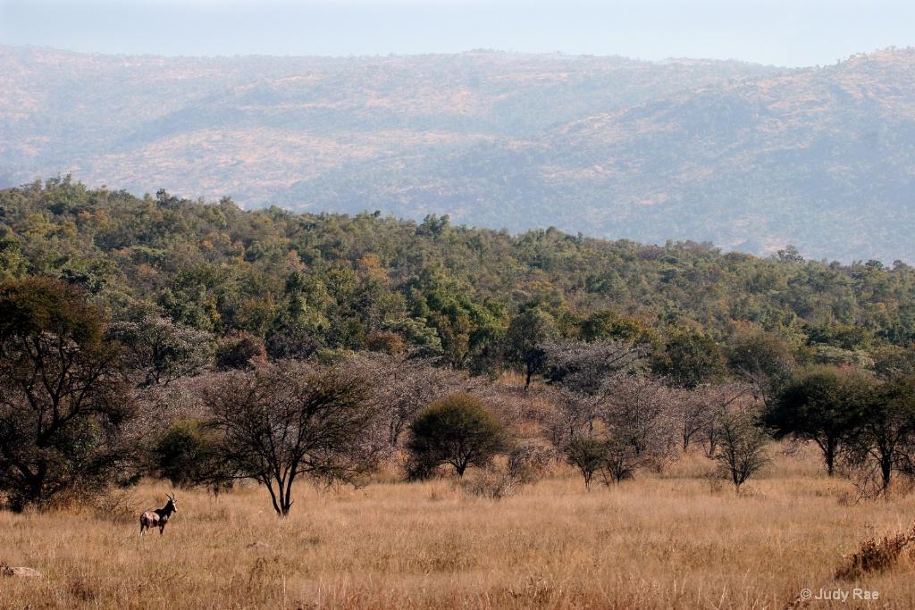 Blesbok Antelope Territory