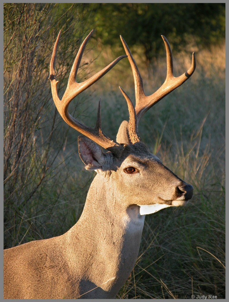 Whitetail Buck 7