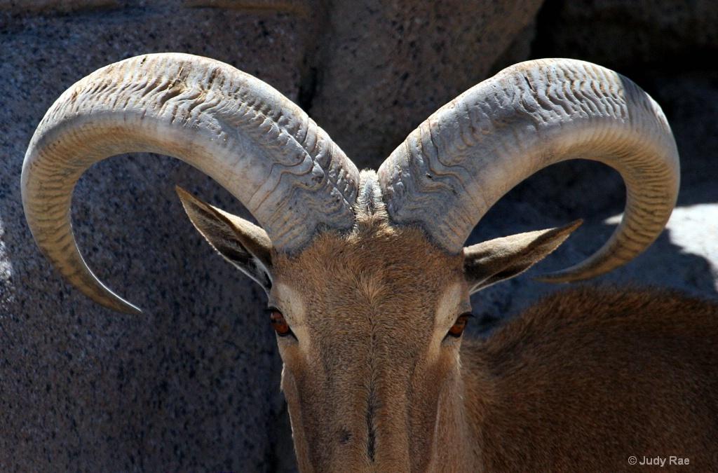 Barbary Sheep (Aoudad)