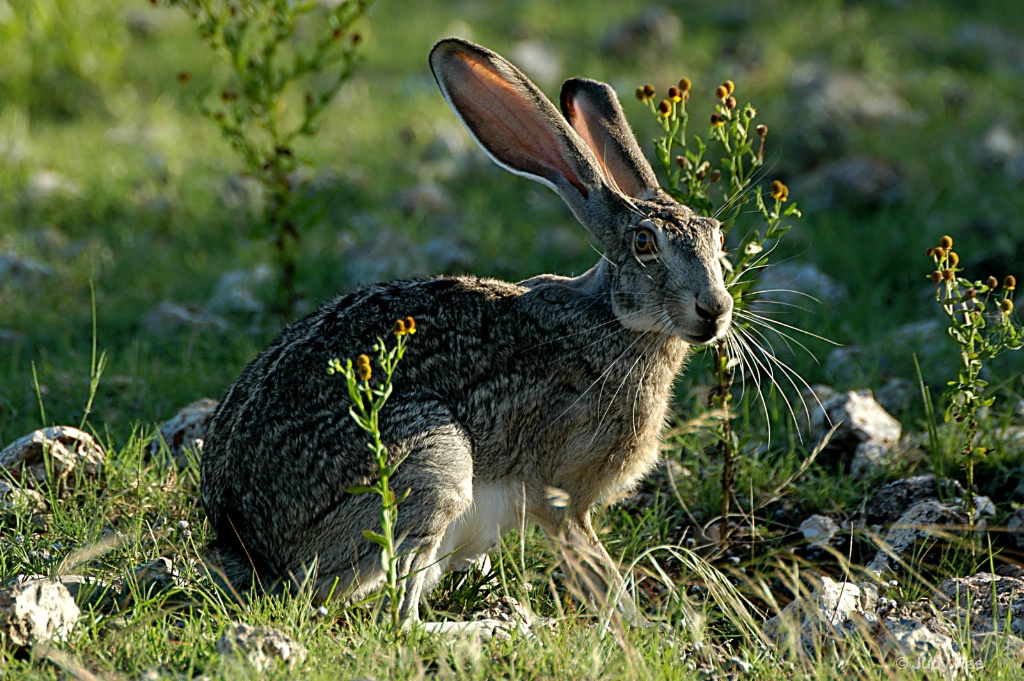 Black-Tailed Jackrabbit