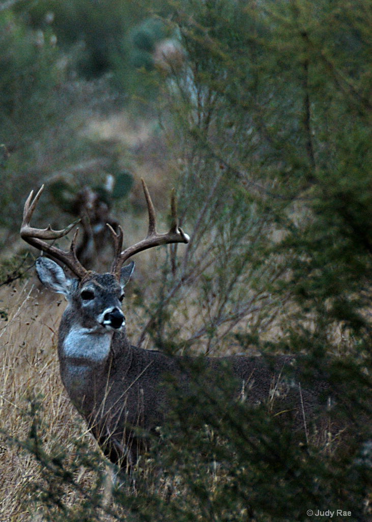 Whitetail Buck 2