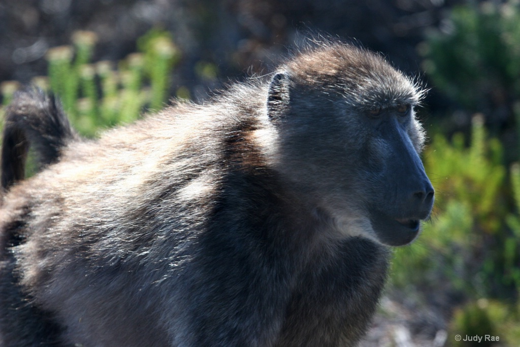 Chacma Baboon (Cape Baboon) 4