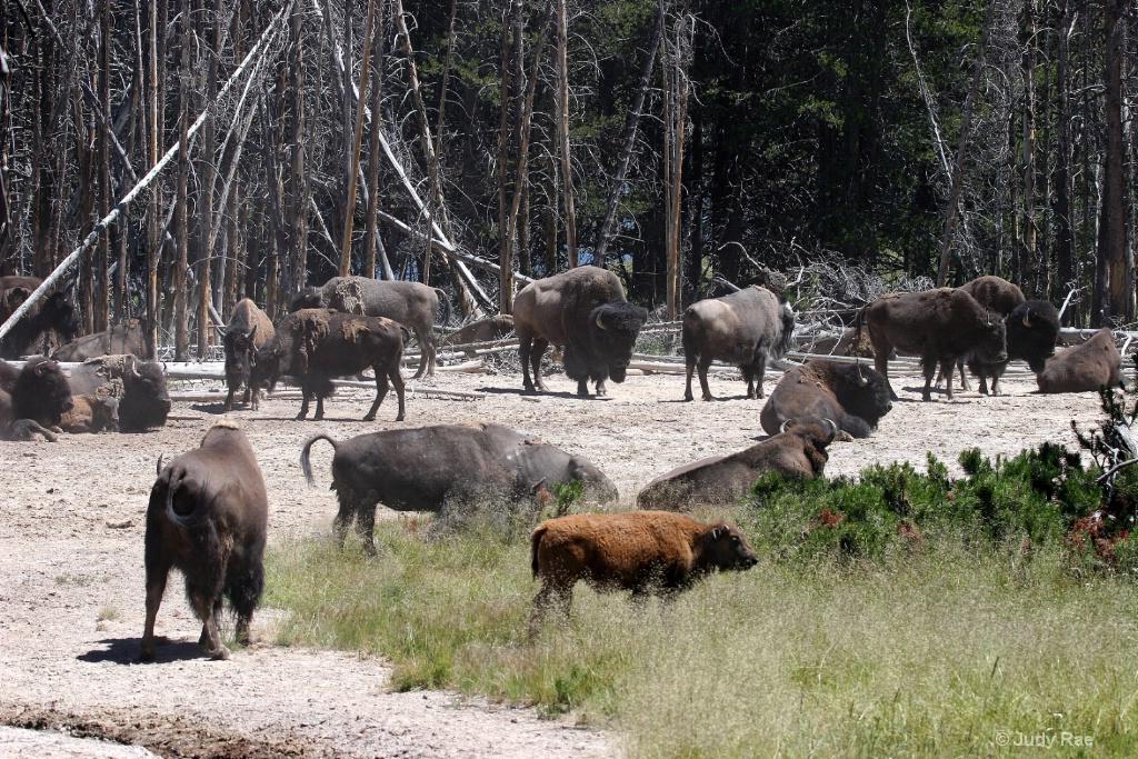 Red Buffalo Calf