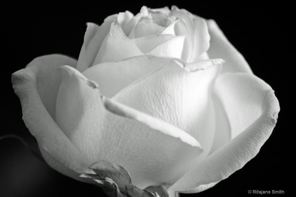 White Rose....