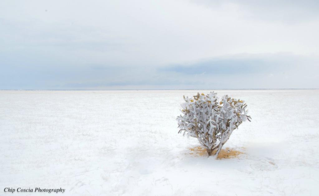 Cholla in Snow