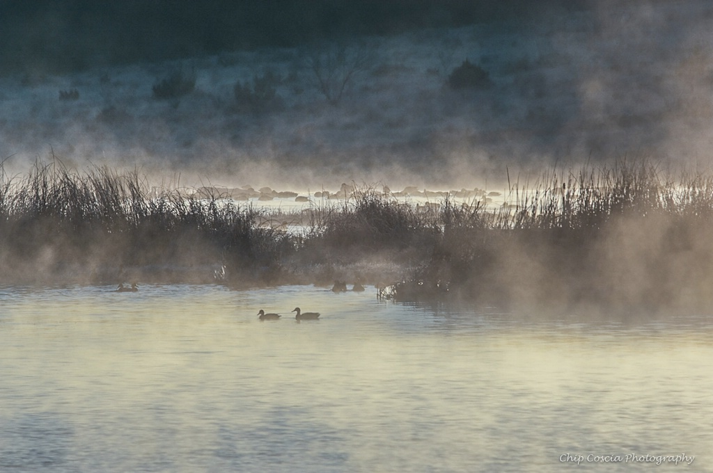 Ducks in Fog