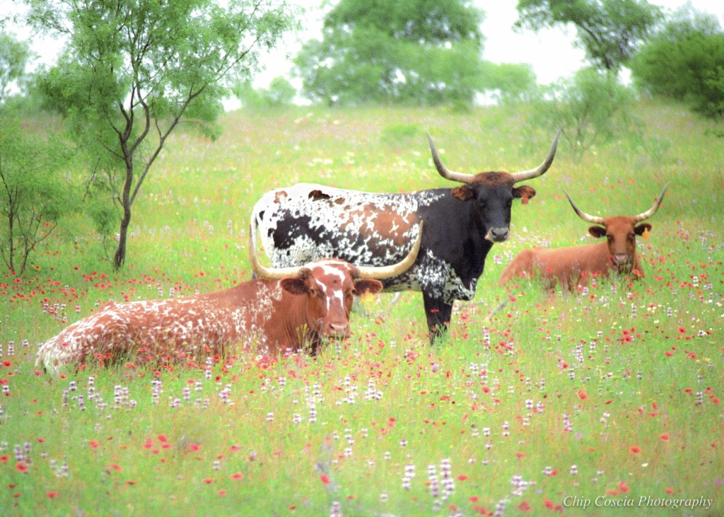 Speckled Longhorns, Dappled Flowers