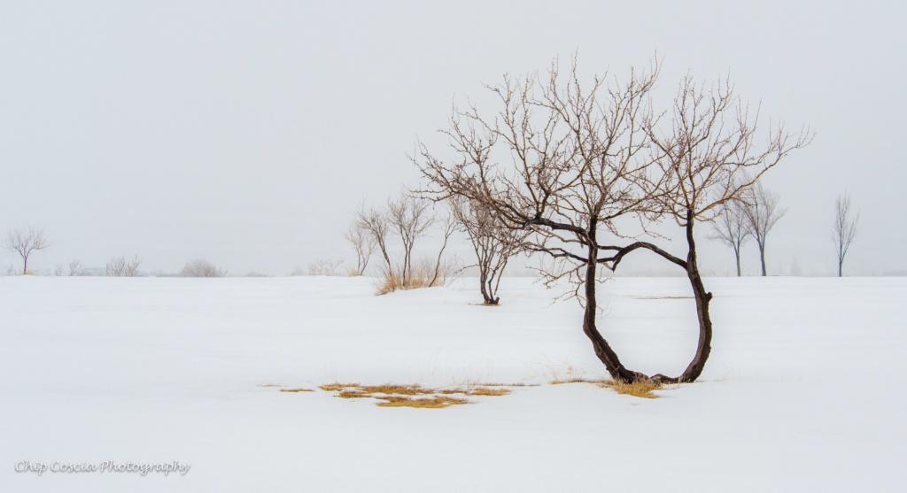 Mesquite Trees In Snow