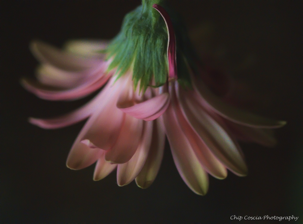Fading Bloom