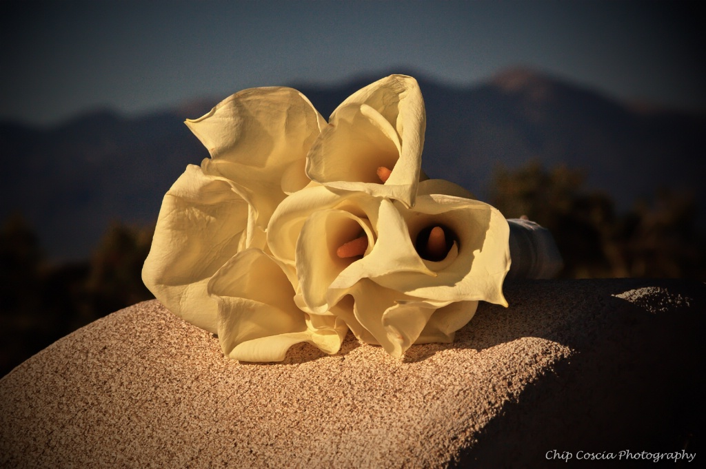 Calla Lilys  In New Mexico