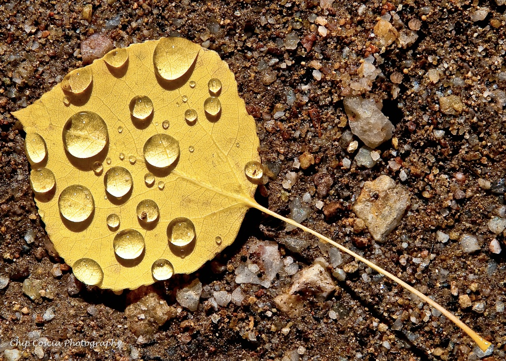 Fallen Autumn Aspen Leaf