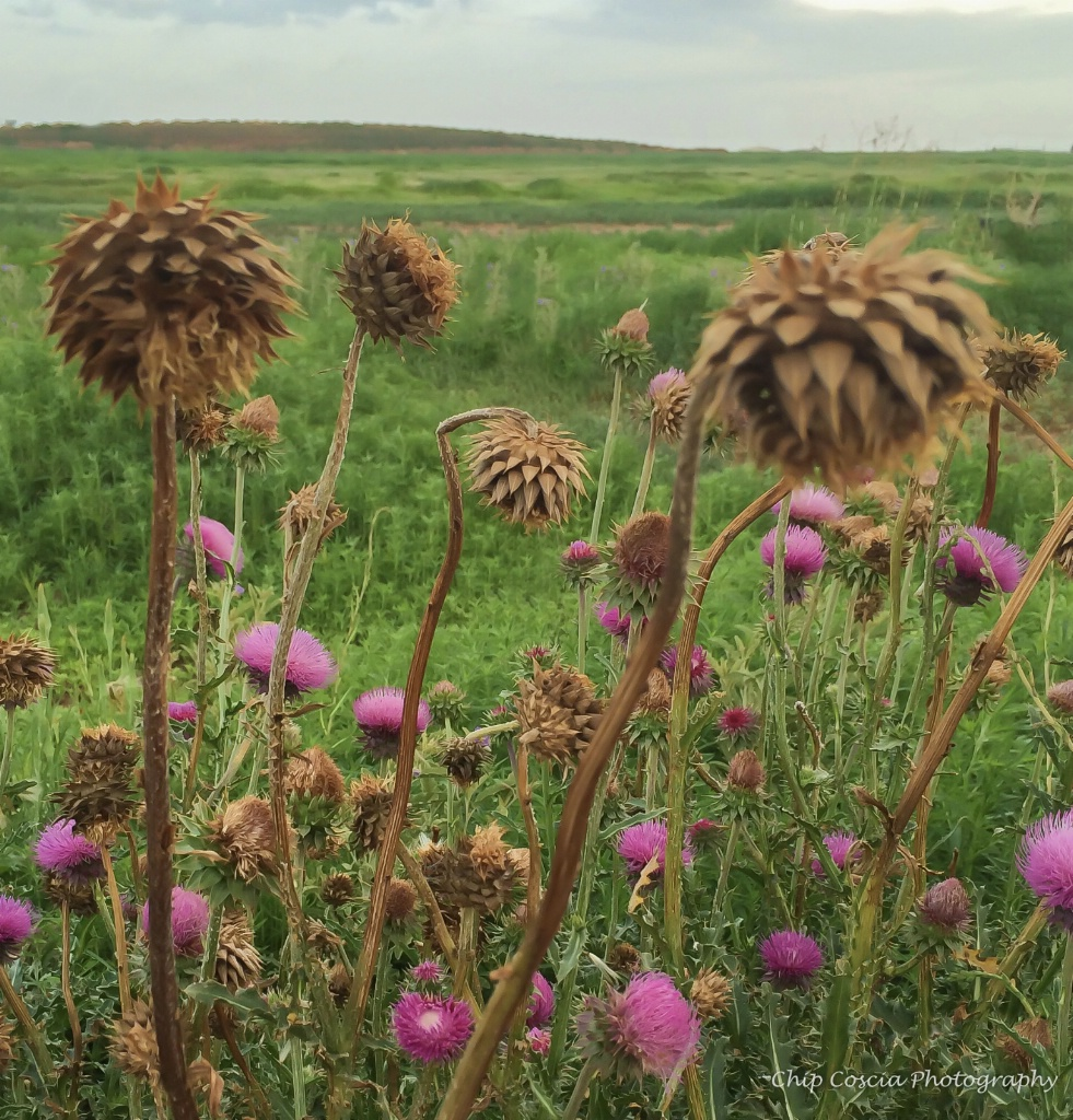 Thistles In Bloom