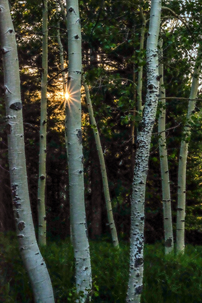 morning sun amidst the aspens