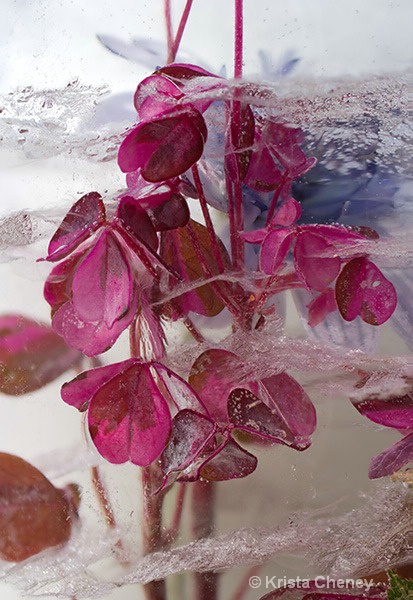 Oxalis in ice II