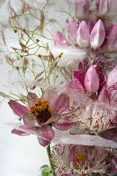 Pink zinnia and lupine in ice