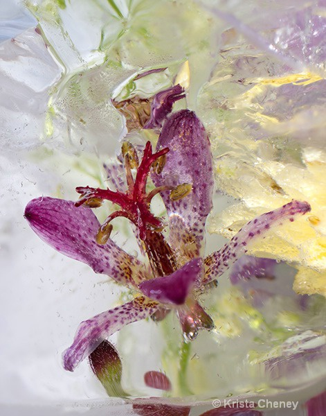 Toad lily in ice