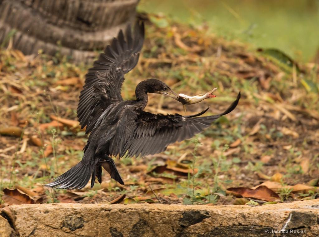Litte Cormorant Catching Catfish