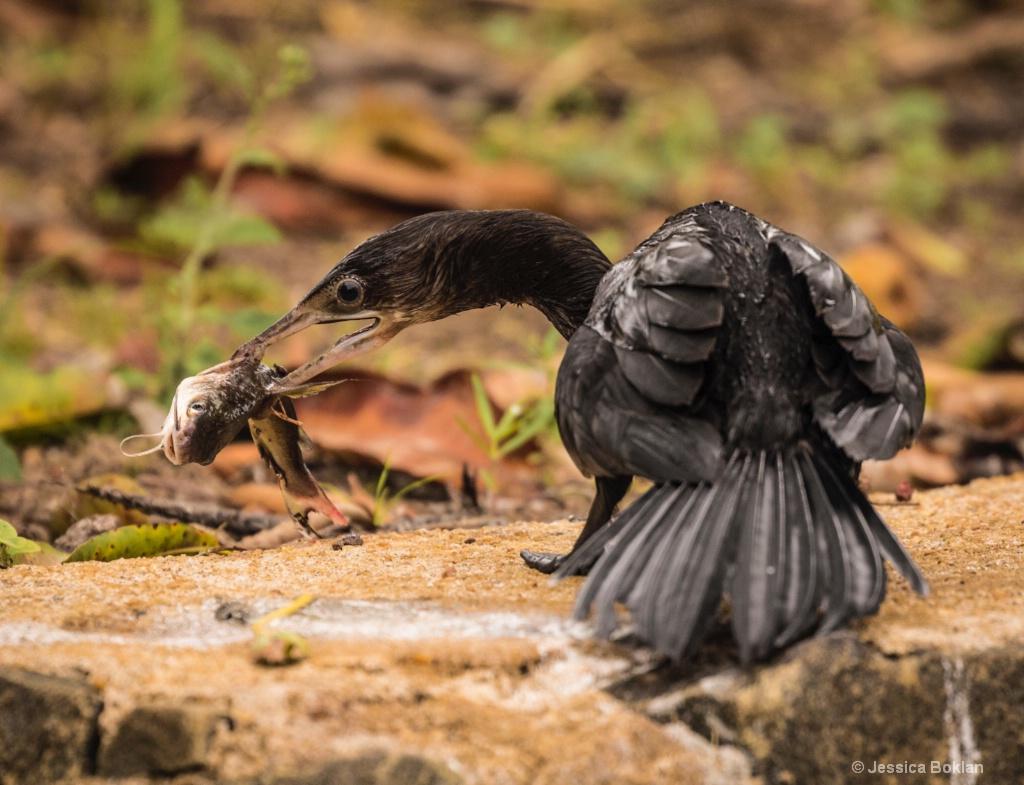 Little Cormorant with Catfish