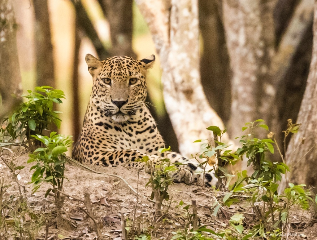 Perched Leopard