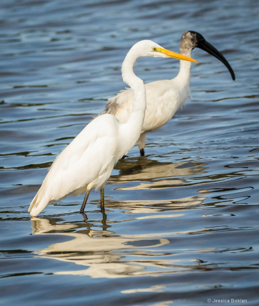 Greater Egret with Black-headed Ibis