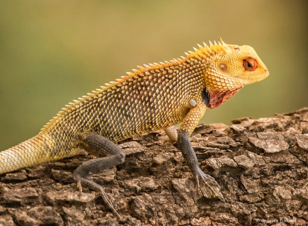 Common Garden Lizard Male