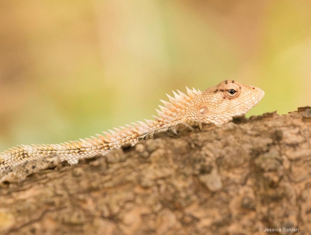 Common Garden Lizard Female