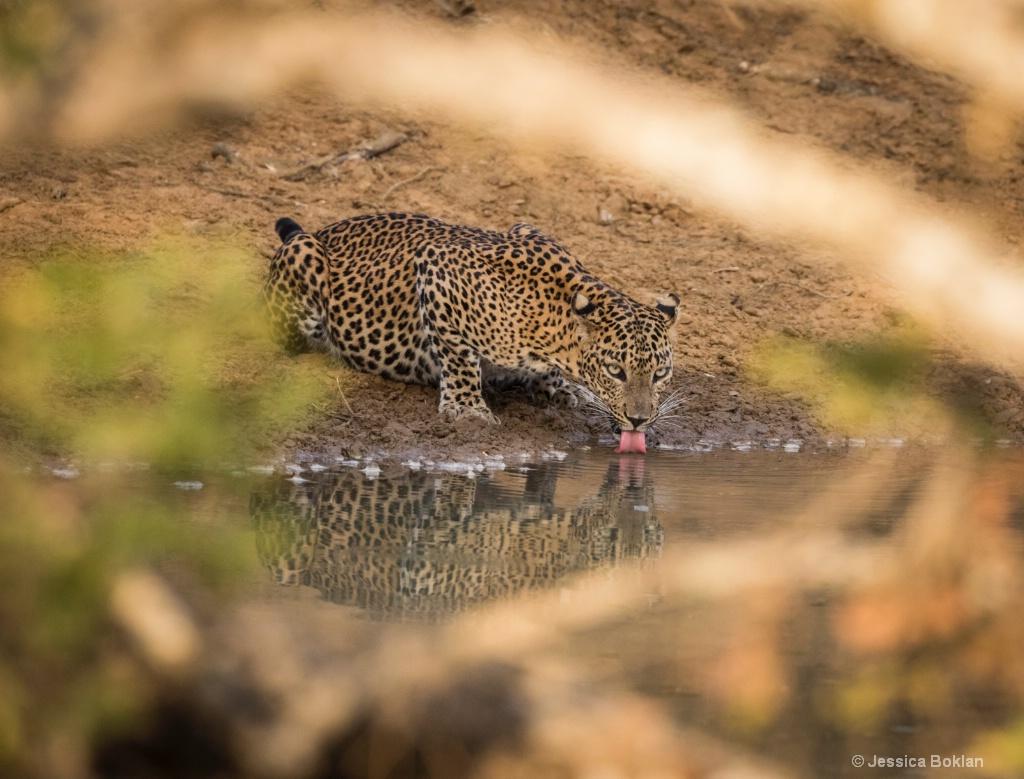 Drinking Leopard