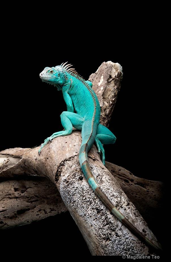 Animal - Monitor Lizard