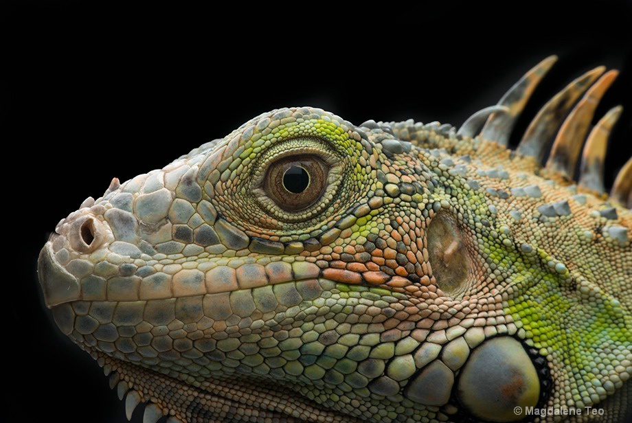 Macro - Close Up of Iguana Head