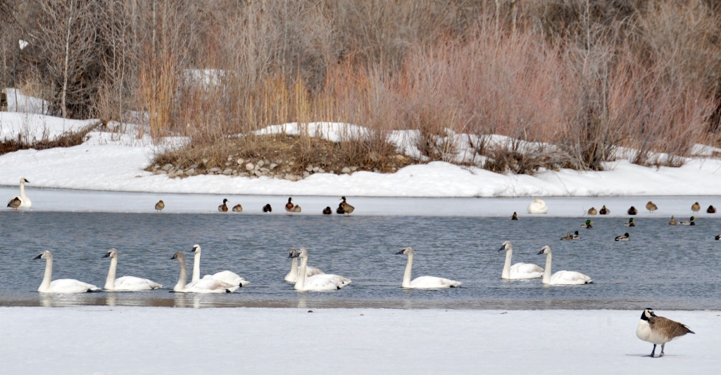Swans and Canada Gueese.